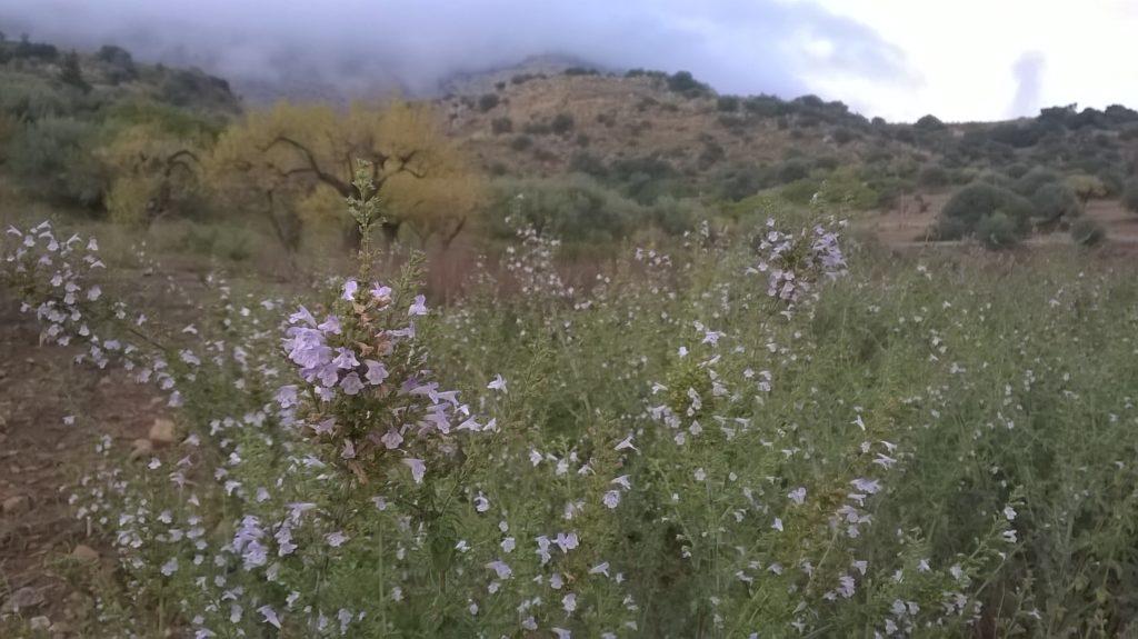 nepetella-piena-fioritura